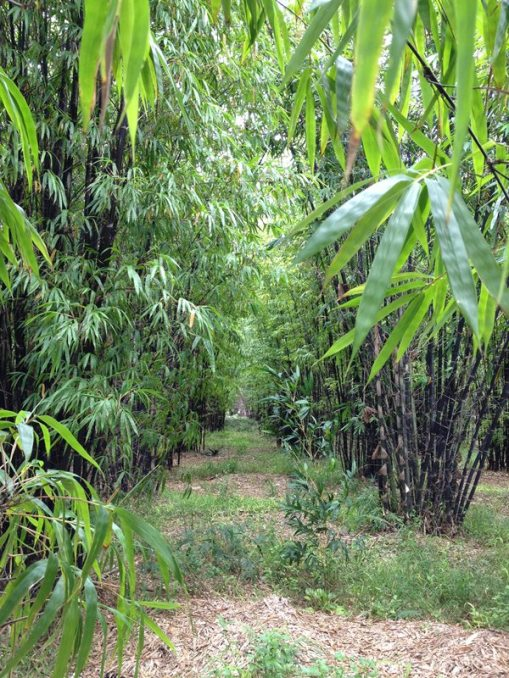 bamboo trail small